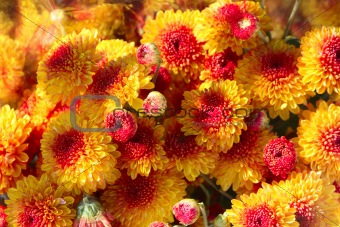 Close Up of Red & Gold Mums