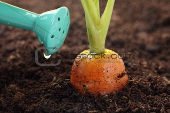 carrot growing in the soil and watering can