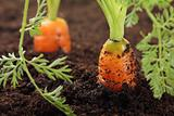 carrots growing in the soil,