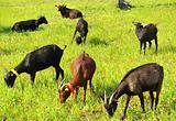 Goats  grazing .