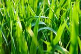 Green grass with drops of rain