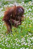 Young baby orangutan