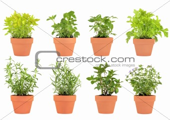 Herbs in Pots