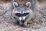 Curious Raccoon