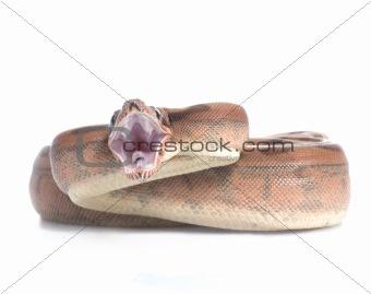 Hypo Redtail Boa