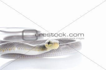 Silver phase Red-tailed Rat Snake