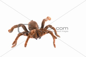King Baboon Tarantula ( C. crawshayi) Female