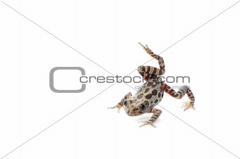 Tigerleg Walking Frog