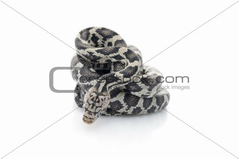 Anery Mexican Night Snake