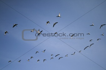 A flock of geese