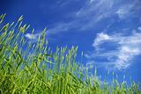 wheat on sky