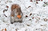 Red squirrel on white snow with walnut