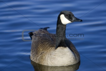 Canada Goose on Smooth Blue Water