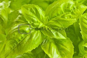 Green basil close up