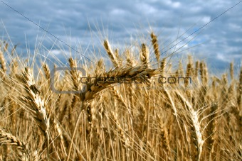 Ripe yellow wheat with stalks by grains before harvest under blu