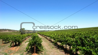 Clear Sky Vineyard