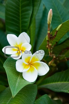 frangipani tropical flowers
