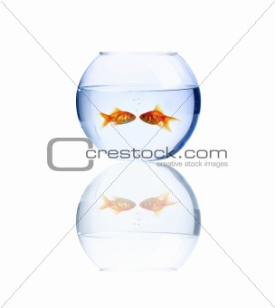 Goldfish kissing