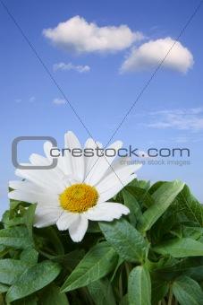 Beautiful Daisy Macro