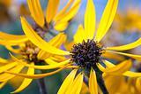 echinacea flowers
