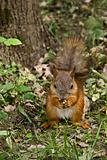 Cute squirrel eating nut