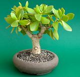 Bonsai Crassula ovata