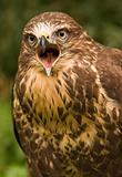 Buzzard screaming