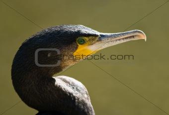 Great cormorant portrait