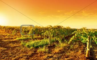 Sunset Vines