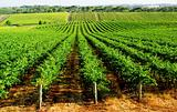Gorgeous Green Vineyard