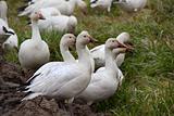 Snow Geese Close Up Looking
