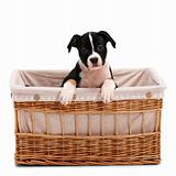 Confused Littel puppy in a basket