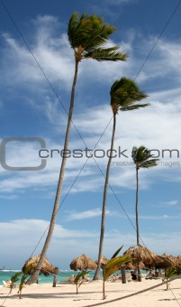 Three Tall Palm Trees