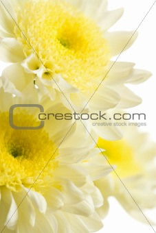 chrysanthemums isolated