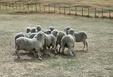 sheep on a dried-up pasture