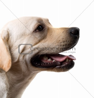 Portrait of the caucasian sheep dog. Isolated on white