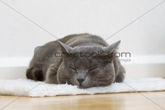 sleepy gray cat