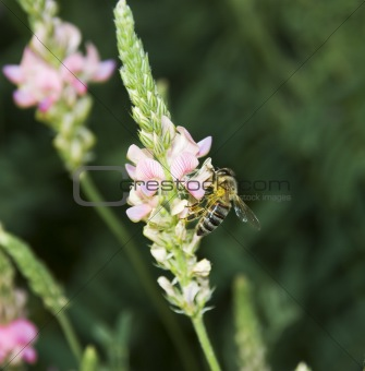 Bee collecting nectar3