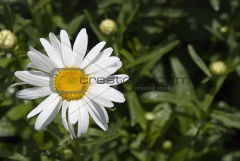 Camomile with dew 2