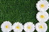 Chrysanthemums on grass