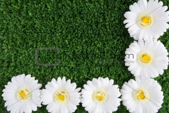 Chrysanthemums on grass