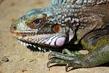 Iguana - portrait of iguana filtered to display all its natural vibrant colors
