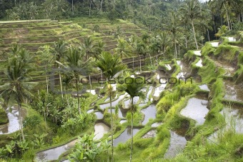Rice fields on terraces, Indonesia (2)