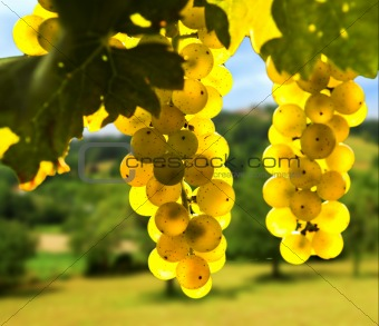 Image 1619886: Yellow grapes from Crestock Stock Photos