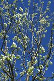 Trees in bloom in the spring