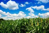 corn field over cloudy blue sky