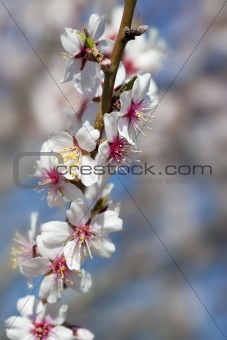 almond tree close up detail with white and pink flowers and blue