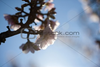 Almond tree flower in spring background
