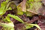 Red Leaf Lettuce with Dew