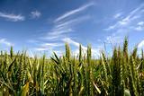 corn crop field in summer